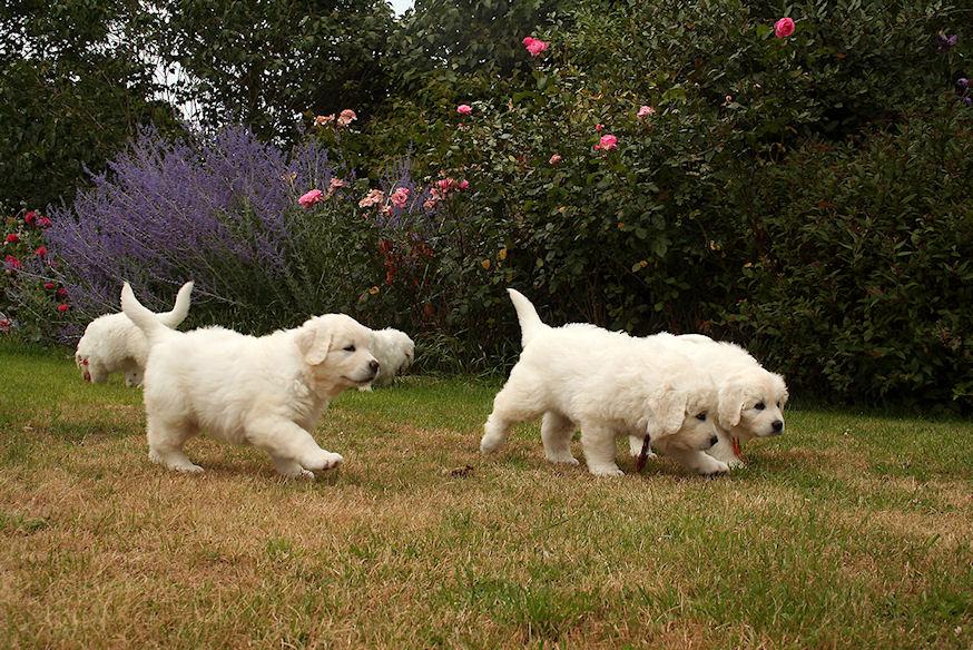 Pups Kochany en Miska